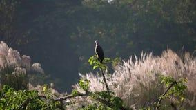 ichthyaetus Cinzento-dirigido de Eagle Haliaeetus dos peixes que senta-se no ramo de árvore video estoque