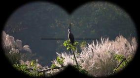 ichthyaetus Gris-dirigido del haliaeetus del águila de pescados visto a través de los prismáticos r