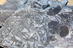 Ichthyosaur fossil Stock Photo