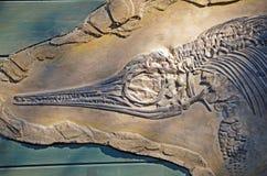 Ichtyosaurus fossil royalty free stock image