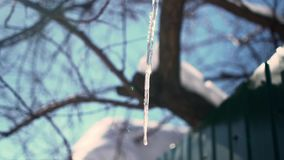 Icicle on a background of blue sky, sun and trees. Winter stock video