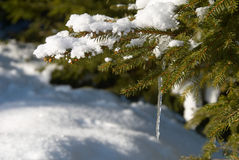 Icicle on the branch Royalty Free Stock Photography