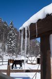 Icicle formed on the roof of a farm house. Blurry horses are in snowy lawn. The wooden house in the winter season of Siberia. The sharp icicles look so Stock Photos