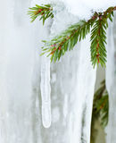 Icicle hanging from spruce branch Royalty Free Stock Images