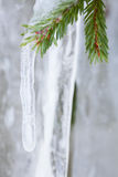 Icicle hanging from spruce branch Stock Images