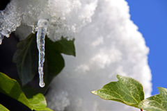 An icicle and snow with evergreen ivy plant Stock Images