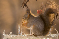 Icicle squirrel Royalty Free Stock Images