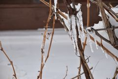 Icicle on a vine grape royalty free stock photos