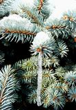 Icicle tree. Close up of blue pine tree outdoors with icicle forming Royalty Free Stock Image