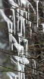 Icicles. Some icicles on arms of a palnt stock photography