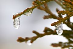 Icicles. On a bush royalty free stock photography