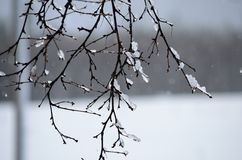 Icicles on birch tree Royalty Free Stock Image