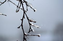 Icicles on birch tree Stock Images