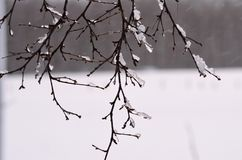 Icicles on birch tree Stock Photography