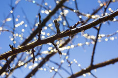Icicles on Branches on Blue sky on sunny winter day Royalty Free Stock Photos