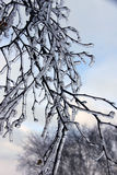 Icicles on Branches. Mother Nature can play some cruel tricks by sending rain in December to Manitoba, but the ice on the trees, plants and infrastructure is royalty free stock image