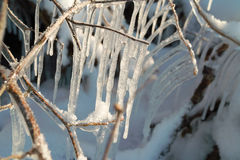 Icicles on the branches. Vine branches covered with ice Stock Image