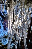 Icicles in a  cedar bush.  Abstract natural patterns created by water and light. Stock Photo