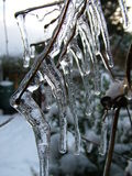 Icicles on Clematis bushes in garden. Icicles forming on Clematis bush royalty free stock photography