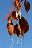 Icicles clinging to the leaves of a Wyoming tree Royalty Free Stock Photo