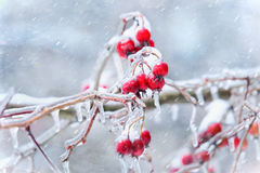 Icicles on crab apple twig formed during sleet Royalty Free Stock Image