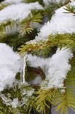 Icicles and Fir Branch. Detail of Icicles on the Fir Branch with snow Royalty Free Stock Images