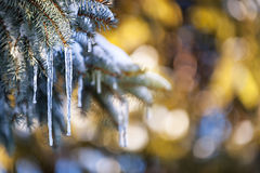 Icicles on fir tree in winter Stock Photography