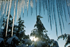 Icicles and firs Royalty Free Stock Photos