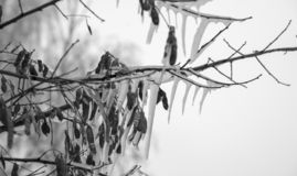 Icicles frozen on a tree, black and white photo stock photo