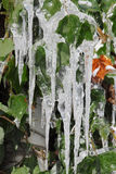 Icicles on green leaves Royalty Free Stock Photos