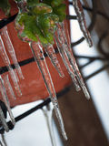 Icicles on green leaves Royalty Free Stock Photography