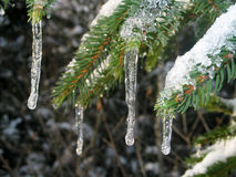 Icicles hanging from fir. Also see my other winter pics Stock Photography