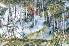 Icicles hanging on pine needles royalty free stock photography