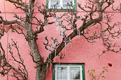 Icicles hanging on a tree in front of a pink house. Icicles, freezing of dripping water, hanging on a tree in front of a pink house Stock Photo