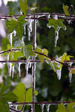 Icicles on leaves. Icicles on green leaves, photo taken in sunrise Royalty Free Stock Photo