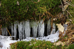 Icicles in the moss royalty free stock image