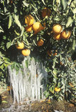Icicles on an Orange Tree, Cuyama, California Royalty Free Stock Image