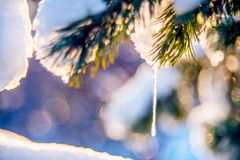 Icicles on pine. Icicles and snow on pine twig, macro winter nature detail and beautiful bokeh Royalty Free Stock Photography