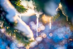 Icicles on pine Stock Photography