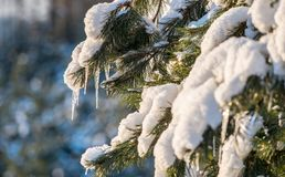 Icicles on pine twigs. Closeup nature in winter Royalty Free Stock Photo
