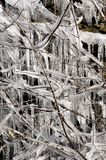 Icicles on a shrub Royalty Free Stock Images