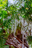 Icicles snow on the branches of trees. Stock Images