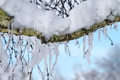 Icicles  and snow clinging to Birch Tree branches Stock Images