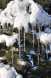 Icicles and snow on pine tree Royalty Free Stock Image