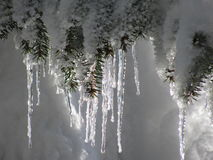 Icicles on a spruce tree Royalty Free Stock Images