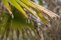 Icicles thawing on a palm leaf on a winter morning royalty free stock images