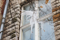 Icicles on tree branch over window Royalty Free Stock Image