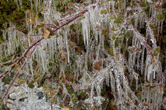 Icicles on tree branches royalty free stock photo