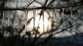 Icicles on tree branches frozen water drips sunset sunshine winter landscape Royalty Free Stock Photography