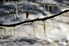Icicles on tree Royalty Free Stock Photo